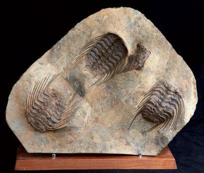 Plaque de trilobites Selenopeltis Buchi Ordovicien,...
