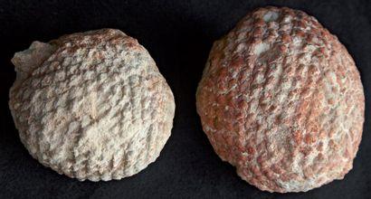 Deux cônes fossiles de conifères ARAUCARIA...