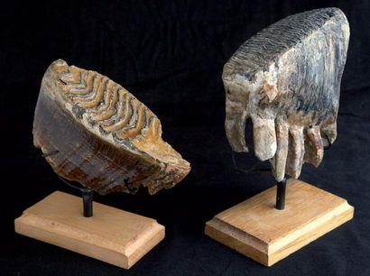 Bel ensemble de deux dents de Mammouth Pleistocene...