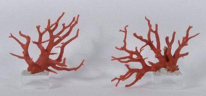 Deux belles branches de corail rouge Mediterranee...