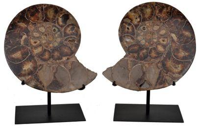 Ammonite Cleoniceras Albien, Majunga, Madagascar...