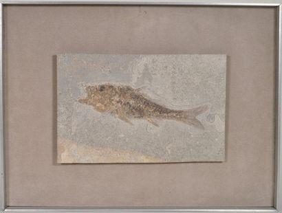 Un superbe poisson fossile Dapalis Provence,...