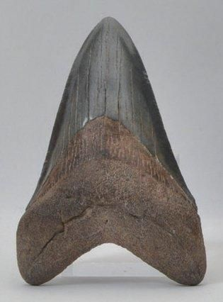 Dent de requin géant Carcharodon Mégalodon....