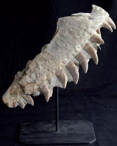 Machoire de Théropode (famille du T-Rex)...