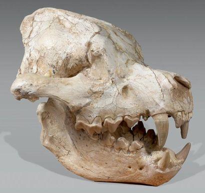Massif, rare et exceptionnel crâne de Hyène...