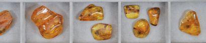 Douze beaux morceaux d'ambre Comprenant dipteres...