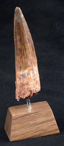 Dent de Dinosaure Spinosaurus Cretace, Sahara,...
