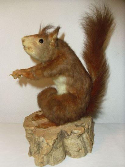 Ecureuil roux (CE) : spécimen ancien présenté...