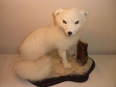 Renard arctique (NR) : magnifique spécimen...
