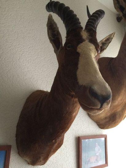 Blesbok (CH) : tête en cape d'une espèce...