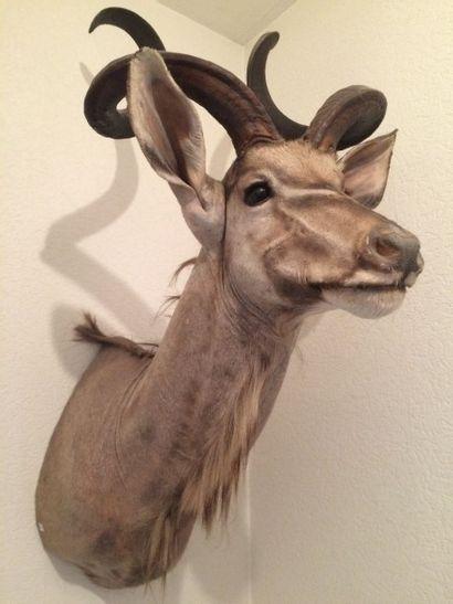 Grand koudou (CH) : tête en cape, asymétrie...