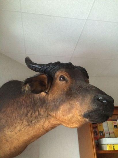 Buffle de savane (CH) : tête en cape, belle...