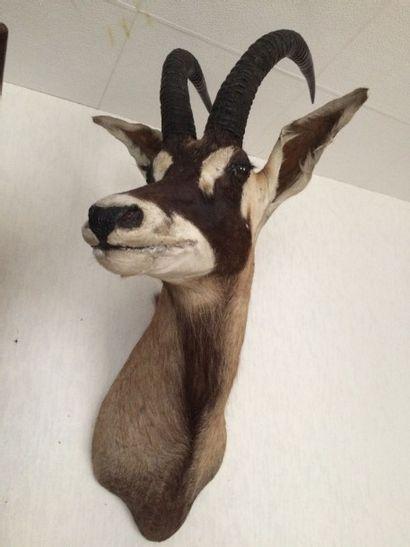 Hippotrague rouan ou antilope cheval (Hippotragus...