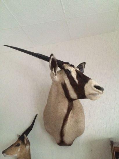 Oryx gemsbok (Oryx gazella) (CH) : tête en...
