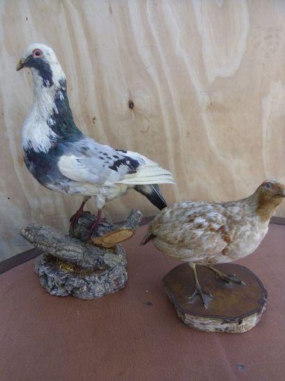 1 lot comprenant :  - 1 Pigeon domestique...