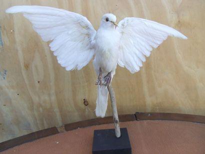 Colombe blanche (D) : spécimen présenté ailes...