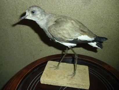 Vanneau à ailes noires (Vanellus melanopterus)...