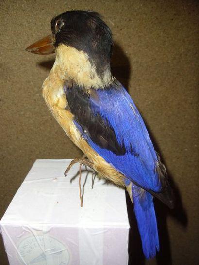 Martin-chasseur à coiffe noire (Halcyon pileata)...