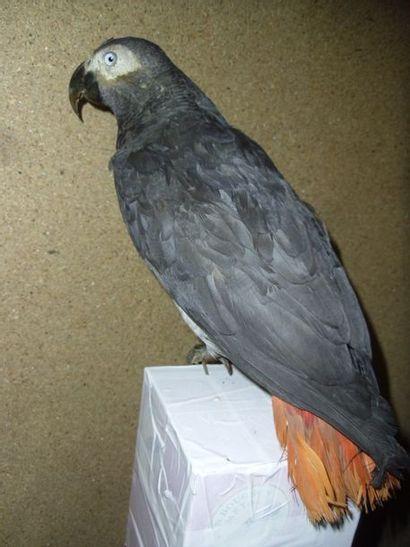 Perroquet gris (Psittacus erithacus) (I/A)...