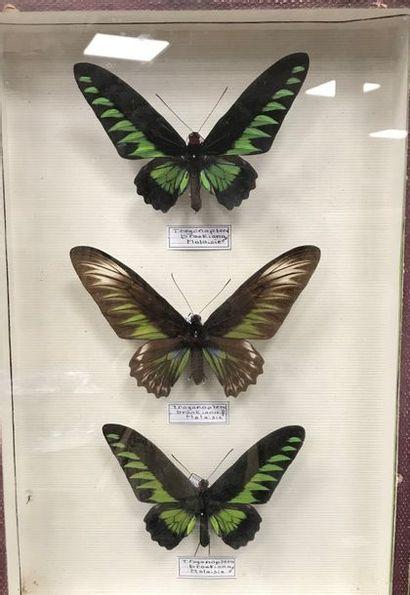 Papillons Trogonoptera brookiana couple Malaisie....