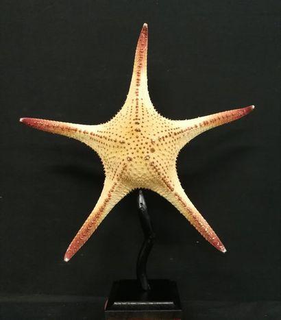 Etoile de mer de la famille des Oreasteridae...