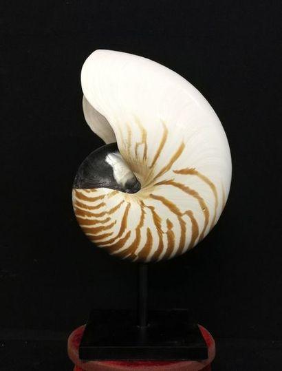 Magnifique Nautile naturel (Nautilus pompilius)...