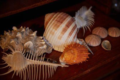 Ensemble de coquillages marins dont Peigne...