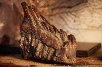 Dent de mammouth fossilisée.  Longueur:...