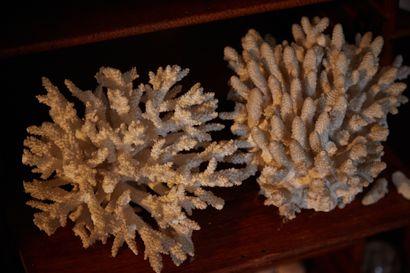 Corail blanc (Scleractinia spp) (II/B) :...