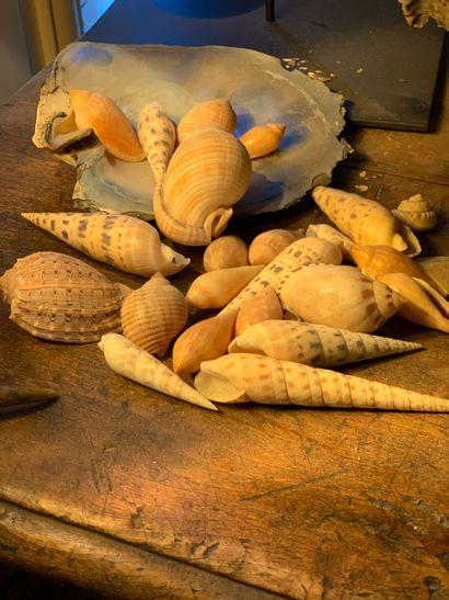 Ensemble de coquillages marins dont Pinctada...