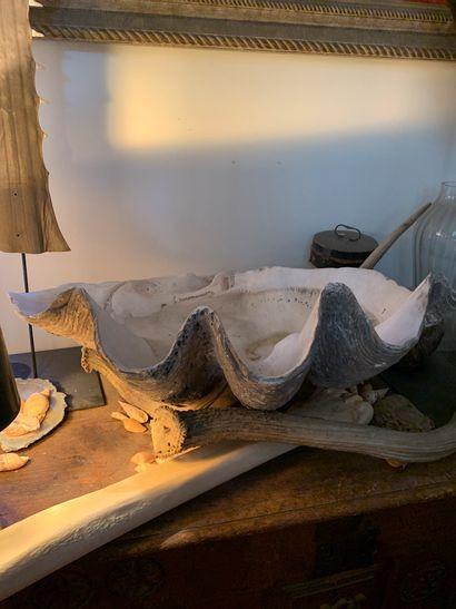 Bénitier géant (Tridacna gigas) (II/B) :...