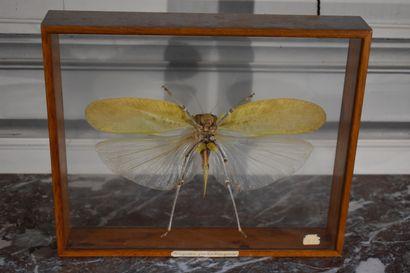 Siliquofera grandis (Papouasie- Nouvelle...