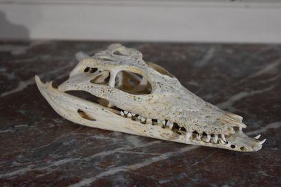 Crâne et mâchoire d'alligator, début du XXe...