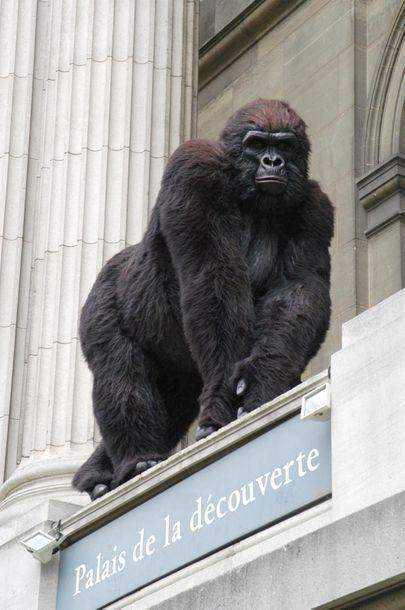 En provenance du Palais de la Découverte Large Gorilla made for the GORILLES exhibition...