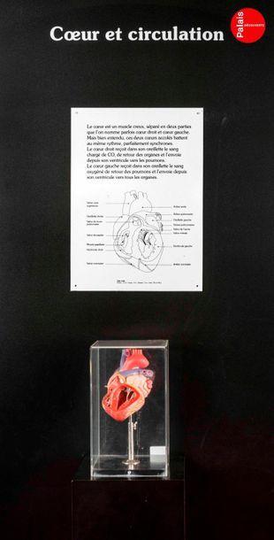 En provenance du Palais de la Découverte Beautiful anatomical model of the heart...