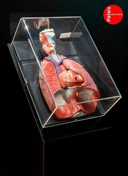 En provenance du Palais de la Découverte Beautiful model of lungs The model is finely...