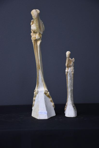 Anatomy plaster for veterinary school representing tibias and hooves of animals....