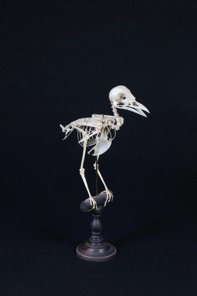 SQUELETTE D'OISEAU.  Reconstitué par un ostéologue...