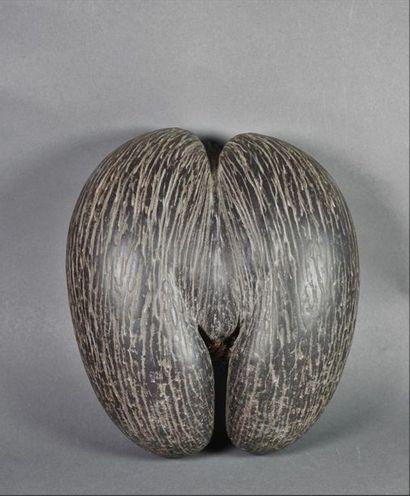 Coco fesse ou cocotier de mer (Lodoicea Maldivica)...