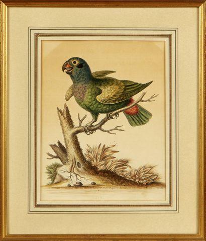 D'APRÈS GEORGE EDWARDS (1694-1773)  Oiseaux...