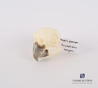 Crâne de Perroquet de Meyer (Poicephalus...