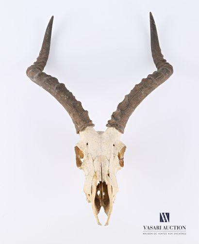 Massacre d'Impala (Aepyceros melampus, non...