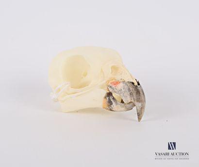 Crâne de Pione à tête bleue (Pionus menstruus,...