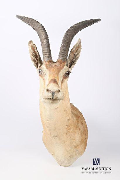Trophée de gazelle de Grant (Gazella Grantii,...