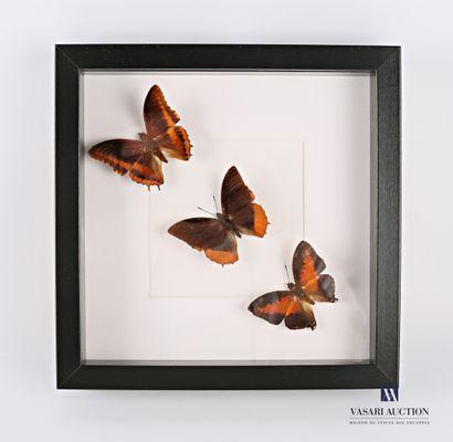Cadre vitré contenant trois papillons (Lepidoptera...