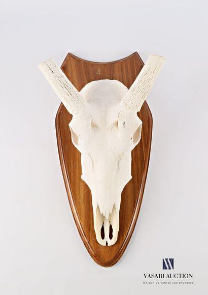 Massacre d'oryx (Oryx gazella) sans étuis...