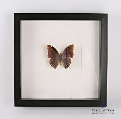 Cadre vitré contenant un papillon (Lepidoptera...