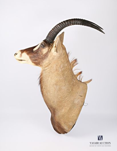 Tête en cape d'antilope rouanne dit antilope...