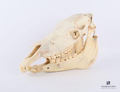 Crane de zèbre (Equus quagga bohemi, non...