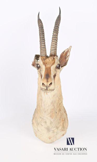 Trophée de gazelle de Thompson (Gazella Thomsonii,...